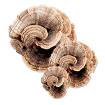 Dried Turkey Tail Mushrooms